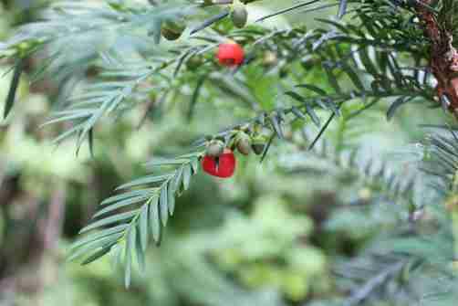 Taxusbaccata pacifička tisa