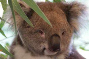 eukaliptus koala