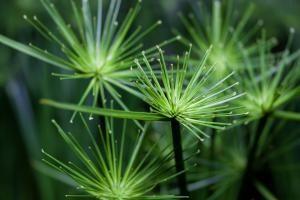 Chufa (souchet) biljka