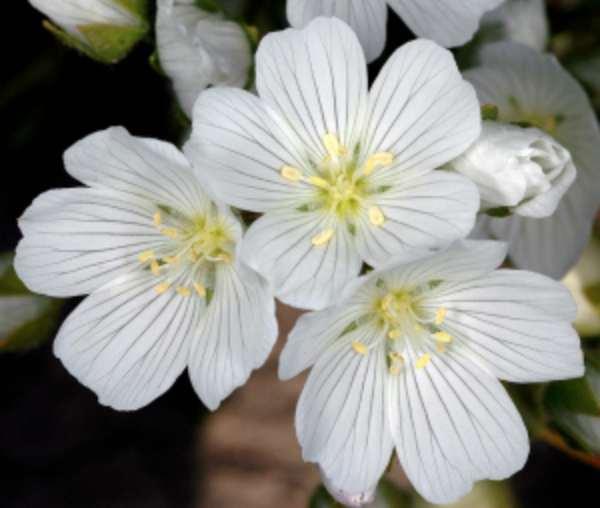 Limnanta, bijela