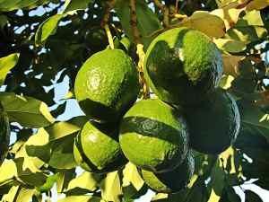 avokado drvo