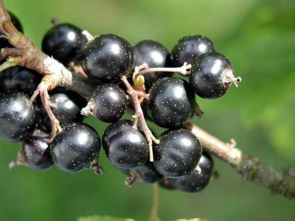 crni ribiz sjemenke