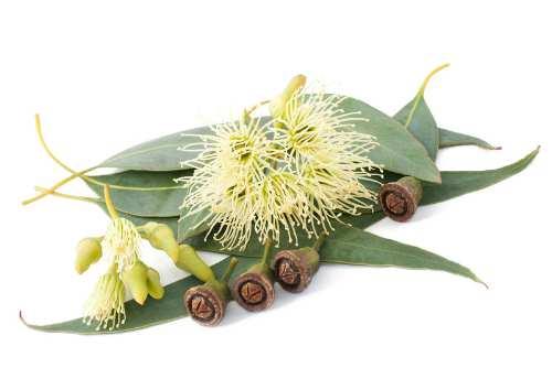 eukaliptus ilustracija