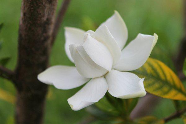 uljni macerat gardenia