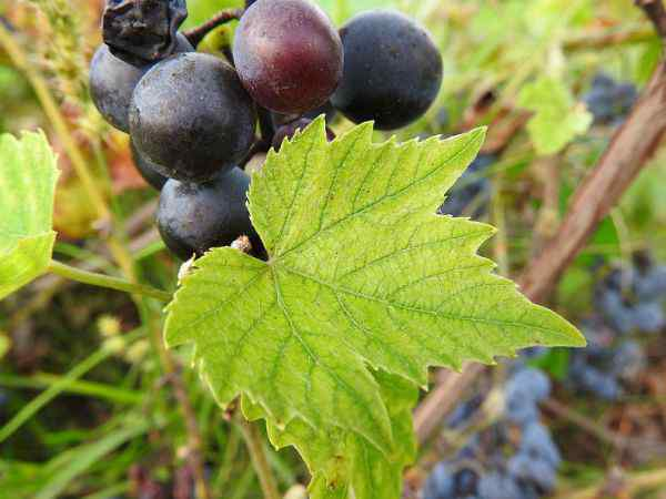 uljni macerati vinova loza