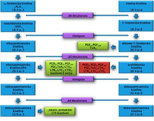 uloga masnih kiselina u homeostazi