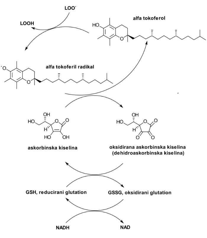 ciklus askorbinske kiseline i vitamina E
