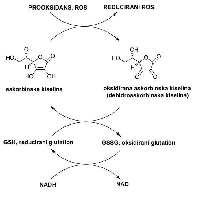 ciklus-askorbinske-kiseline