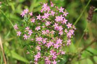 IRIDOIDI - kičica, biljka gorkih sekoiridoida