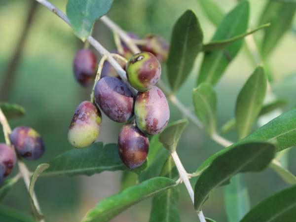 IRIDOIDI - najpoznatija biljka s iridoidima na planeti - maslina